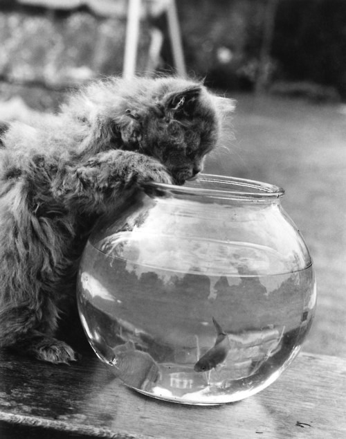 3. A seven-week-old Persian kitten peers into a goldfish bowl, 9th October 1972.