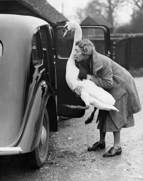 7. The transport of a swan. A pet swan named Leila being helped into a car where it enjoys a ride to the shops. its owner Mrs. Watson of Chesham, Buckinghamshire, says that Leila, who has been a family pet for two years, can open doors and is a good guard dog, England, 1936.