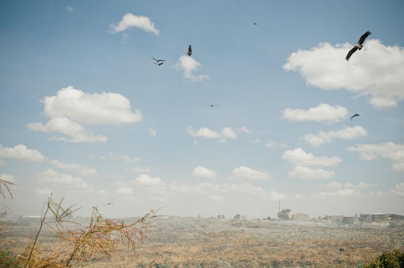 4.Марабу летают над свалкой в поисках гниющих остатков.