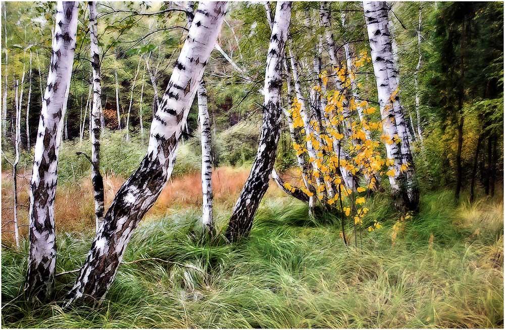 огромное картинки про природу березовую рощу и цветы этом варианте