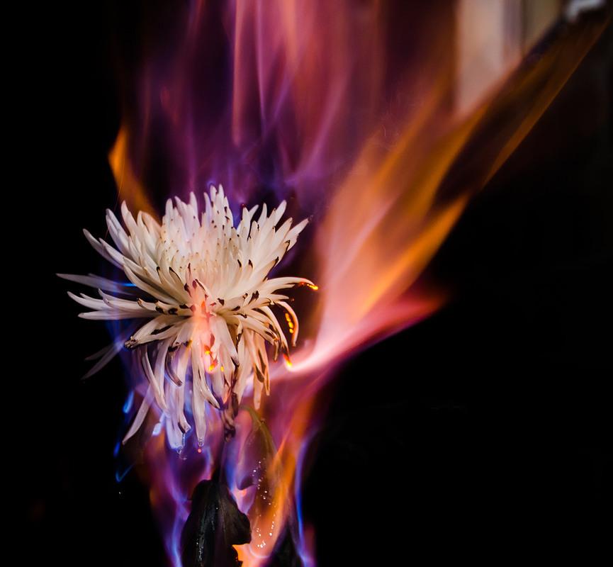 Цветы огненные картинки