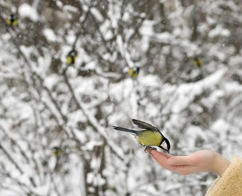 Птичка синица анимационные картинки фото
