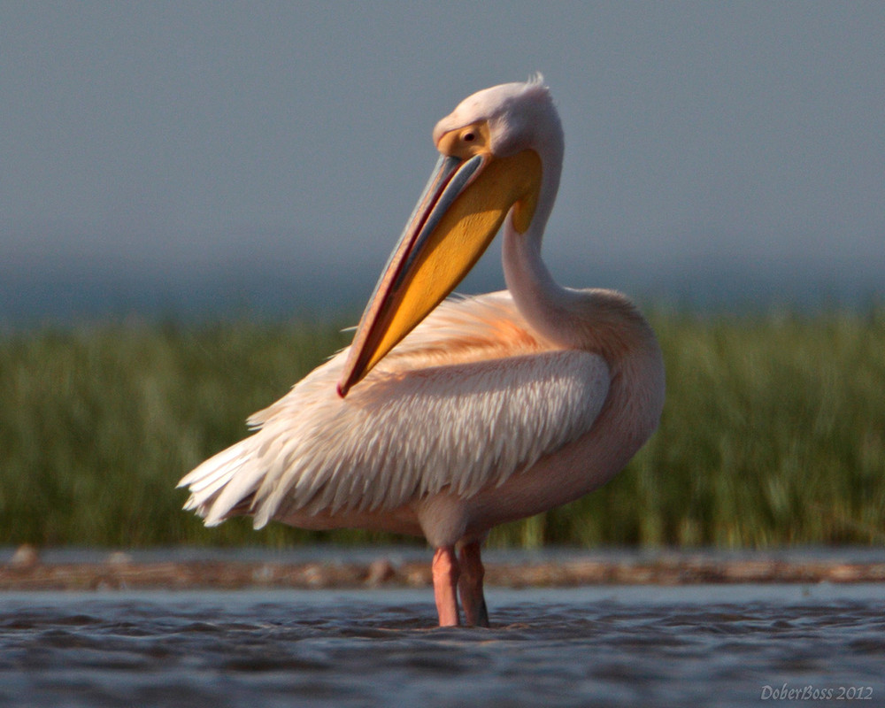 Картинки по запросу пеликан